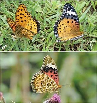 よく見られるチョウ - 庭のチョウ